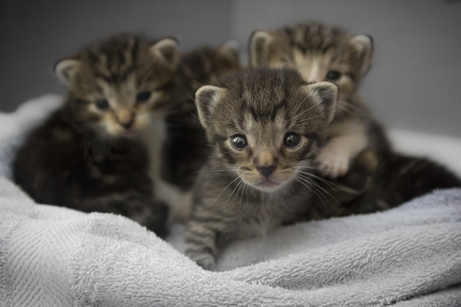 Four Brown Tabby Kittens by Q-AILA