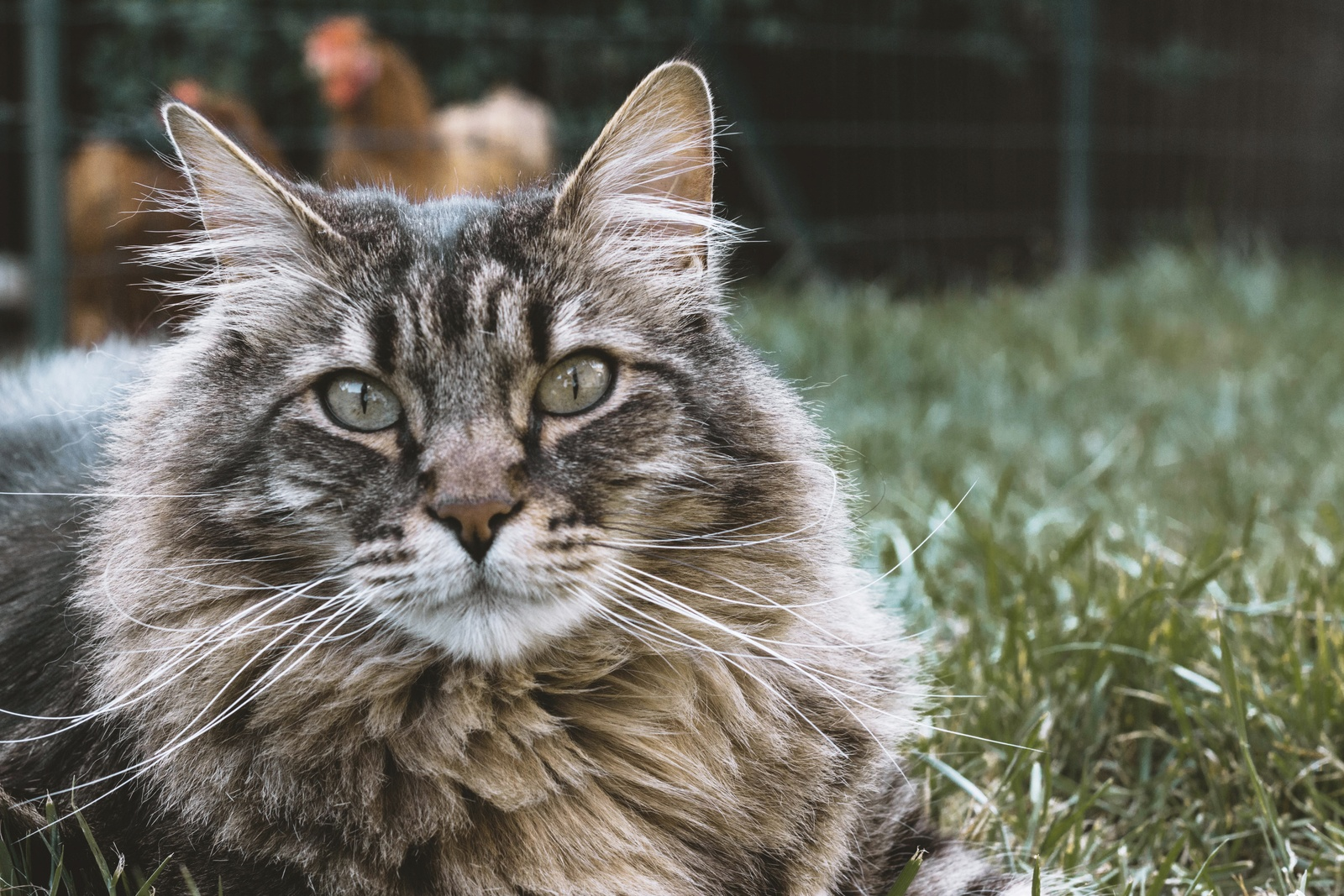 Maine Coon Cat Lying on Grass by Elsa-Noblet